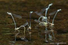 Coenagrionidae sp.