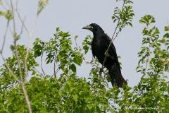 Corvus frugilegus