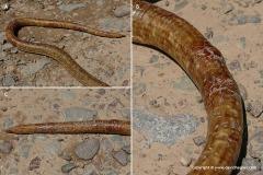 Pseudopus apodus apodus