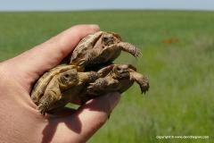 Agrionemys (Testudo) horsfieldii