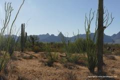 Organ Pipe Cactus N.M.