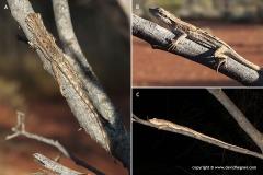Caimanops amphiboluroides