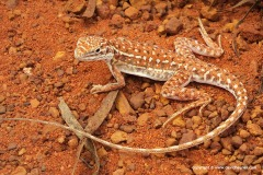 Ctenophorus isolepis