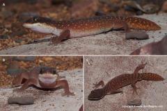Diplodactylus savagei