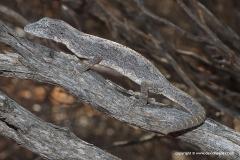 Strophurus strophurus