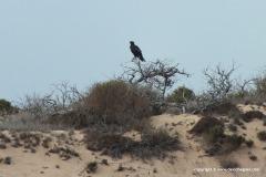 Milvus migrans affinis