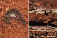 Diplodactylus conspicillatus
