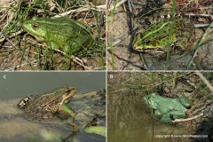 "Pelophylax sp. ""green"""