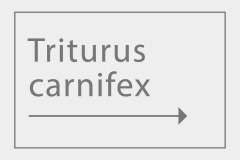 Triturus carnifex