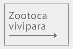 Zootoca vivipara