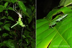 Ensifera sp. / Mantodea sp.