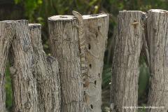 Varanus albigularis