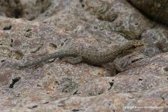 Lygodactylus sp.