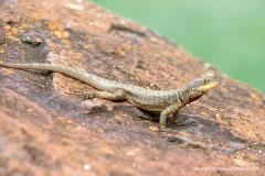 Tropidurus catalanensis