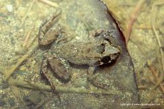 Craugastor ranoides