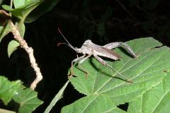 Heteroptera sp.