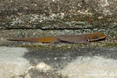 Gonatodes albogularis fuscus