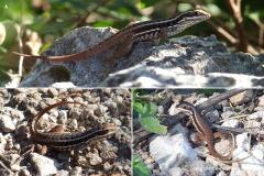 Leiocephalus cubensis