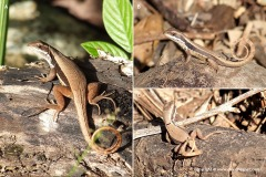 Leiocephalus macropus absolomus