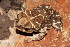 Peltophryne peltocephala