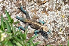 Acanthocercus cf. atricollis