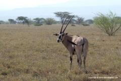 Oryx gazella beisa