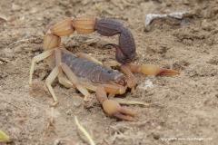 Scorpionida sp.