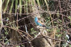 Coracias abyssinicus