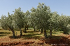 Olive trees