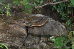 Eutropis carinata