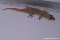 Hemidactylus flaviviridis