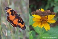 Lepidoptera sp.