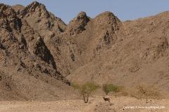 Capra nubiana