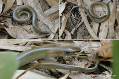 Chalcides guentheri