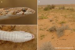 Lytorhynchus diadema