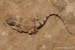 Trapelus pallidus agnetae