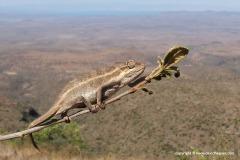 Trioceros bitaeniatus