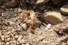 Scorpiones sp.