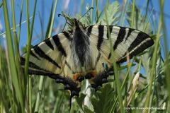 Papilio sp.