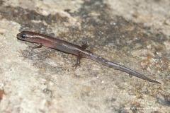 Sphenomorpus sp.