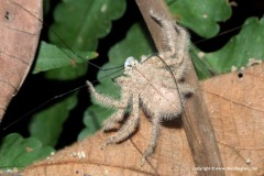 Spider (Sparassidae sp.).