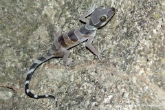 Cyrtodactylus pulchellus