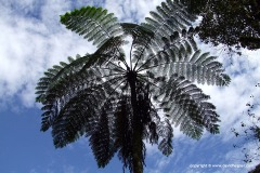 Blue Tree Fern
