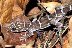 Cyrtodactylus consobrinus