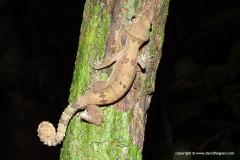 Cyrtodactylus elok
