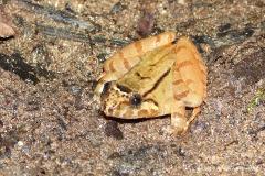 Limnonectes nitidus