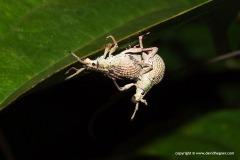 Curculionidae sp.