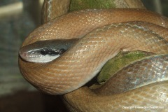 Orthriophis taeniurus ridleyi