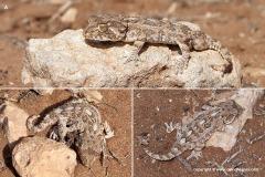 Geckonia chazaliae