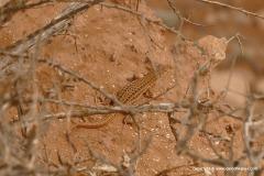Acanthodactylus sp.